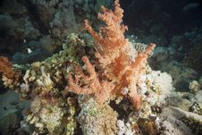 Softcoral Royalty Free Stock Image