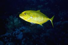 Free Orangespotted Trevally Stock Photography - 7857842