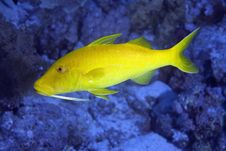 Free Yellowsaddle Goatfish Stock Photography - 7857852