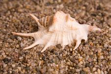 Free Cockleshells Royalty Free Stock Photography - 7858047