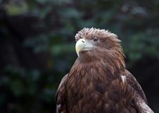 Free Eagle Stock Photography - 7858622