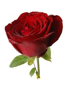 Free Rose With Water Drop Stock Photos - 7859903