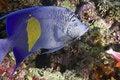 Free Angelfish Royalty Free Stock Photos - 7864798