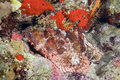 Free Scorpionfish Stock Photography - 7864822