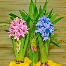 Free Hyacinths In Dew Stock Photos - 7860753