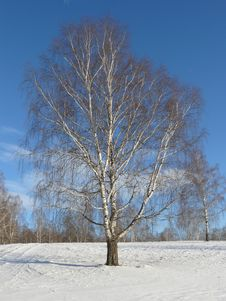 Free Birch Stock Images - 7860964