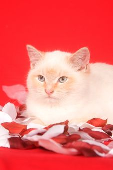 Free White Kitten And Red Background Royalty Free Stock Images - 7863389