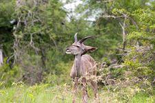 Free Kudu In The Bush Royalty Free Stock Photo - 7864585