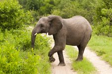 Free Elephant In Kruger Park Royalty Free Stock Image - 7864626