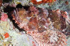 Free Scorpionfish Royalty Free Stock Image - 7864816