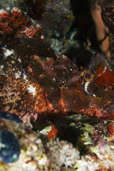 Free Scorpionfish Stock Image - 7864891