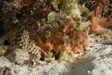 Scorpionfish Stock Photos