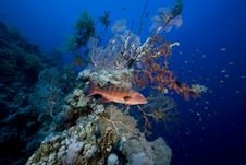 Free Coralgrouper Royalty Free Stock Image - 7865236
