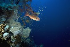 Free Coralgrouper Stock Photo - 7865280