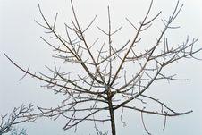 Frozen Maple Tree Stock Photo