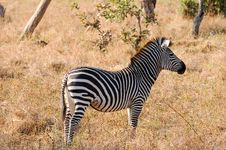 Free Zebra Photographed In The Outback Of Zambia Stock Images - 7866164