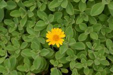 Free Yellow Flower Royalty Free Stock Photo - 7866505