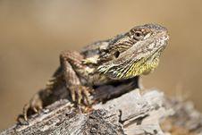 Free Bearded Dragon On Log Stock Photos - 7867243