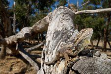 Free Bearded Dragon On Log Royalty Free Stock Photos - 7867258