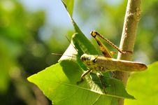 Free Macro Of Grasshopper Royalty Free Stock Image - 7867616