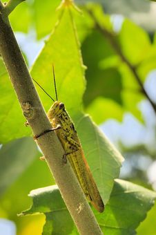 Free Macro Of Grasshopper Royalty Free Stock Photo - 7867665