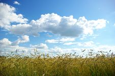 Free Wheat  Field Royalty Free Stock Photography - 7868207