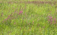 Free Green Grass With Pink Flowers Royalty Free Stock Photos - 7868218