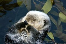 Free Sleeping Otter Stock Photos - 7869613