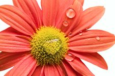 Free Single Daisy Stock Images - 7869704