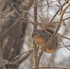 Free Squirrel In A Tree Royalty Free Stock Images - 7869919