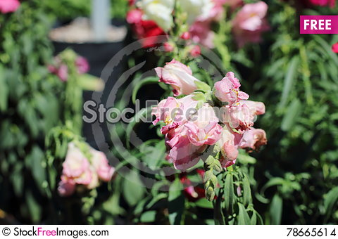 Free Wilted Flowers Stock Images - 78665614