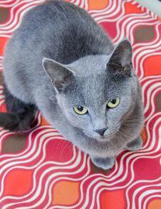 Blue Cat Adoption Photo Royalty Free Stock Photos