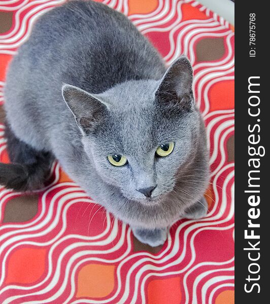 Blue Cat Adoption Photo