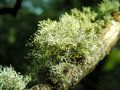 Free Branch Of Moss Royalty Free Stock Photo - 7878125