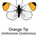 Free Orange Tip Butterfy Stock Photo - 7878130