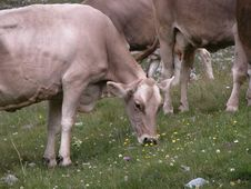Free Cow Grazing The Grass Royalty Free Stock Photos - 7870278