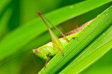 Free Grasshopper Royalty Free Stock Images - 7871639