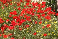 Free Poppy Field Royalty Free Stock Photography - 7872027