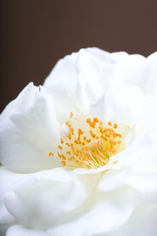 Free Rose Stock Photography - 7872142