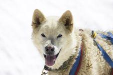 Free Dogsledding Stock Images - 7872464