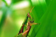 Grasshopper Macro Royalty Free Stock Photography