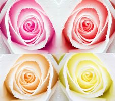 Free Beatiful Roses Royalty Free Stock Image - 7872826