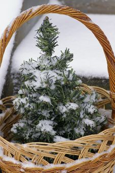 Free Fir Tree In The Basket Stock Image - 7872891