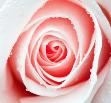Pale Pink Rose Stock Image