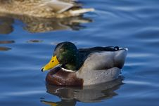 Free Bay Duck Royalty Free Stock Photo - 7873655