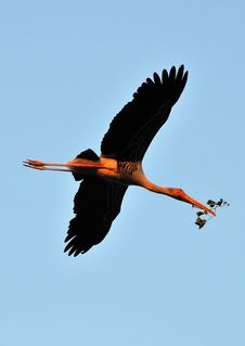 Free Painted Stork Royalty Free Stock Image - 7874016