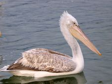 Free Pelican On Water Stock Photos - 7875063