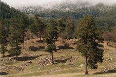 Free Caucasuan Pines Stock Image - 7875101