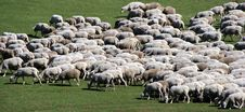 Free Herd Of Sheep On Green Meadow 5 Royalty Free Stock Photo - 7875485