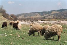 Free Caucasuan Sheep Royalty Free Stock Photos - 7875588